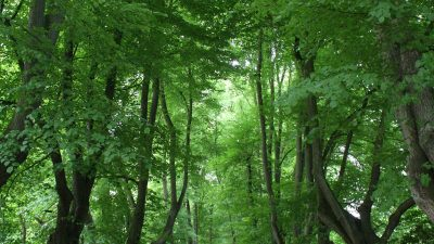 Linden im Rombergpark - genial-nah.de
